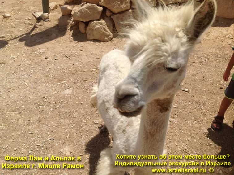 Ферма Лам и Альпака в Израиле