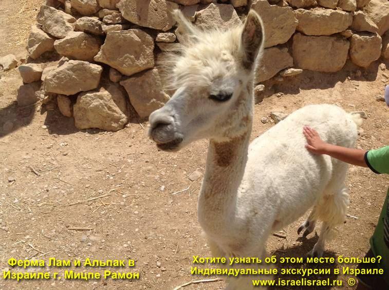 Животные ферма в Израиле Лама