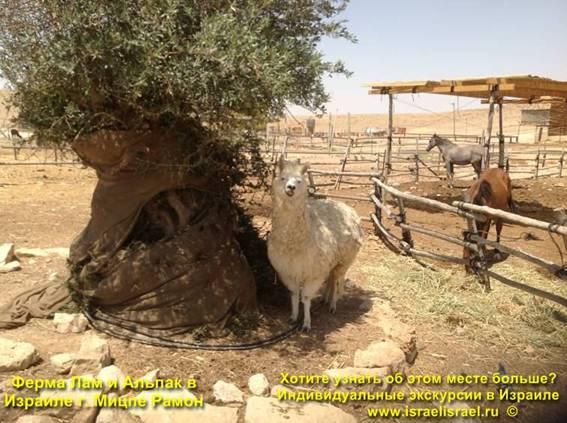 Ферма лам и альпак в Мицпе Рамоне