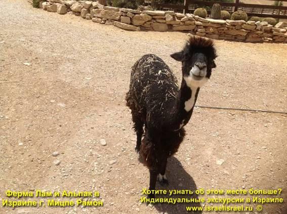 Израиль Альпаки и ламы