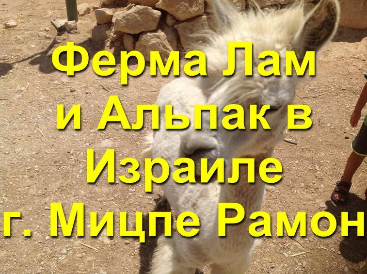 Ламы в мицпе рамон
