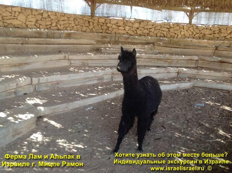 Ферма альпак и лам в Негеве