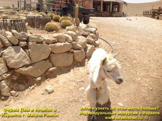 The Alpaca Farm Israel