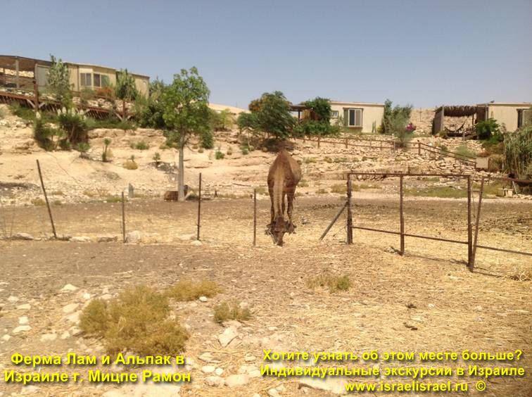 Ламы в Израиле