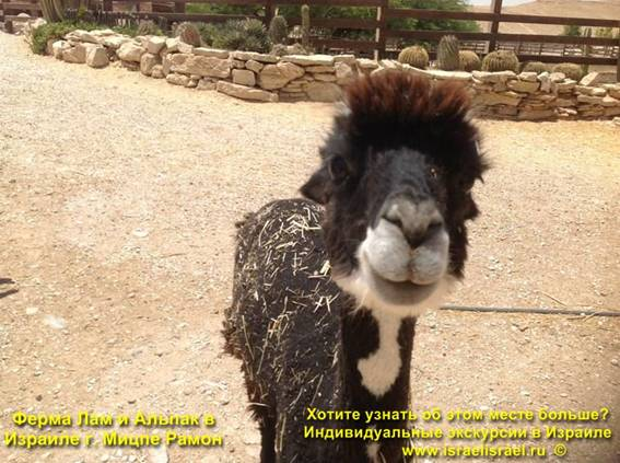 Экскурсия На ферму Лам в Израиле
