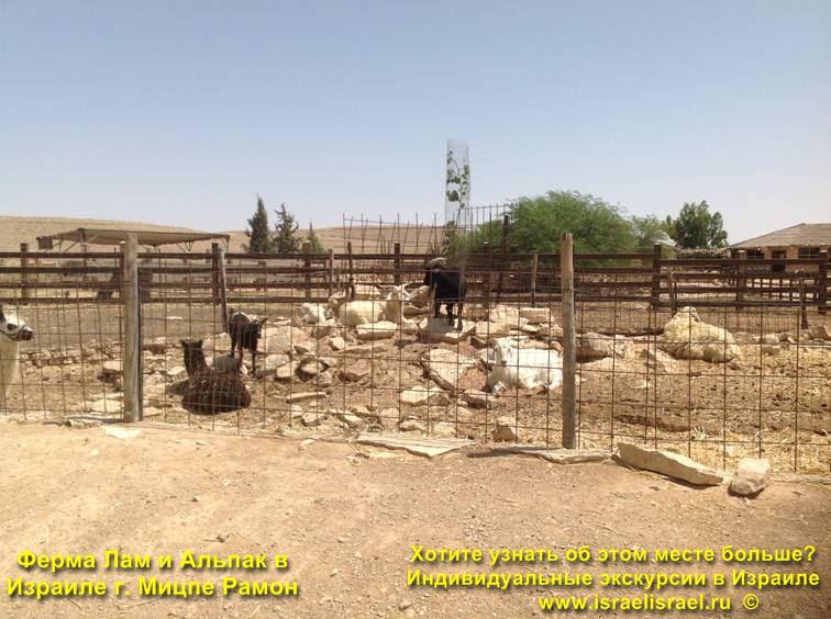 Альпаки ферма в Израиле