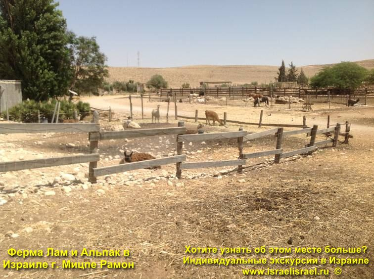 Интересная ферма Лам в Израиле