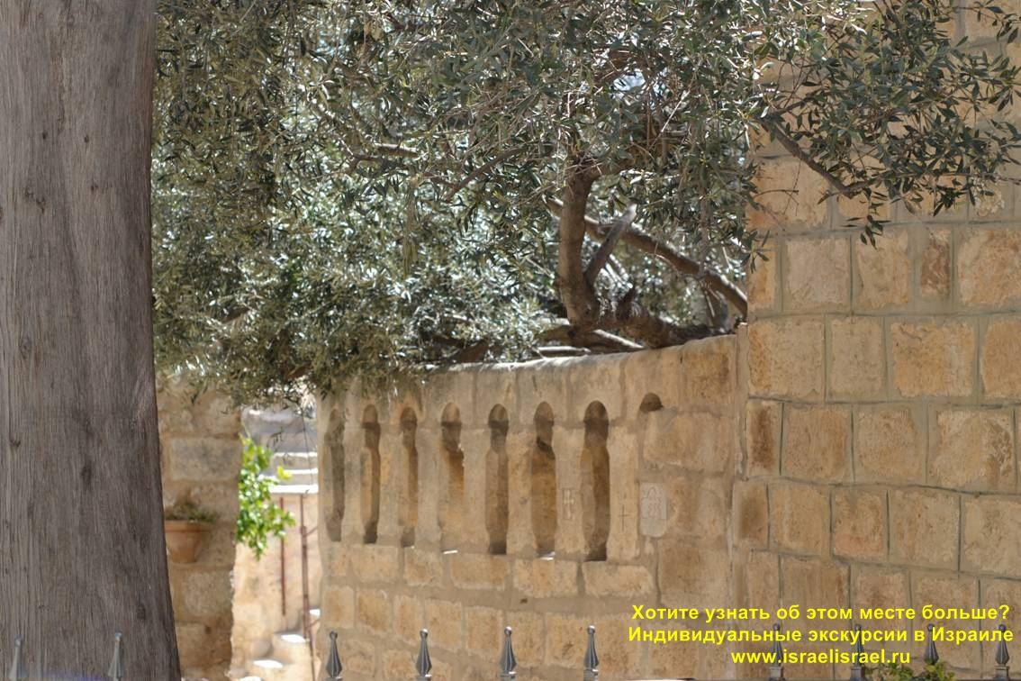 Olive Wonder-Working Tree