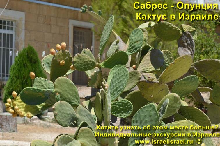 Как выращивать кактус Опунции