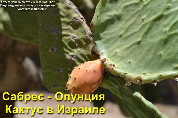 Плоды кактуса Опунции