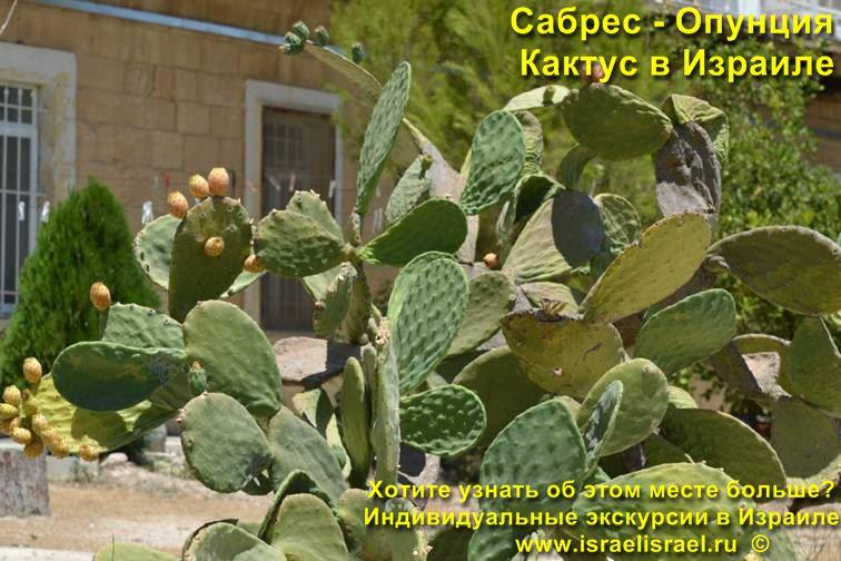 Опунция кактус в Израиле