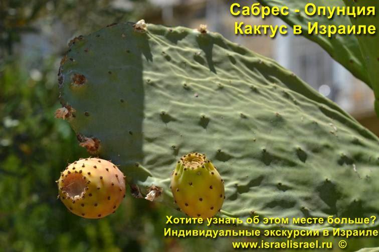 Как собирать плоды Опунции