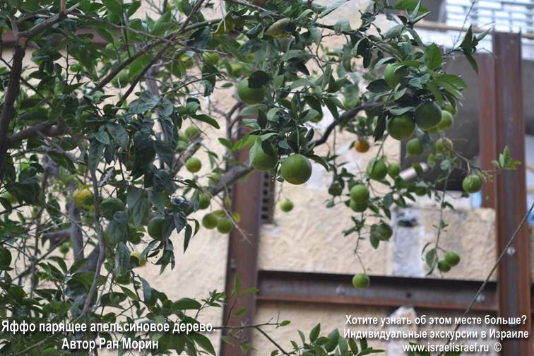 Висящее дерево Яффо Тель Авив
