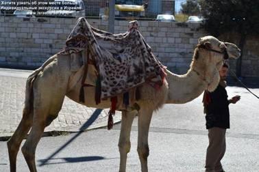 Верблюды в Израиле частный гид в Иерусалиме