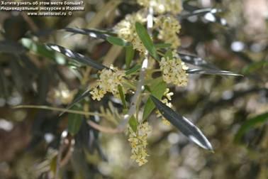 Оливковые деревья в Израиле дерево в Иерусалиме