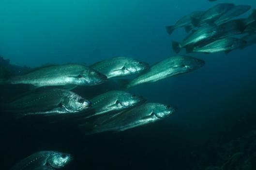 Мусар - Серебристые горбыли - Argyrosomus - דג מוסר