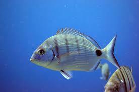 Худон Азур рыба в Израиле