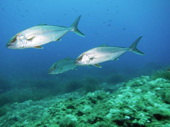 Сариола - Seriola dumerili - סריול ים תיכו - Высокотелая средиземноморская лакедра