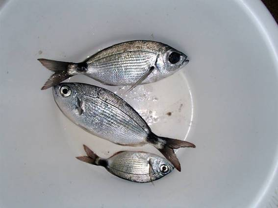 Сарагус - Diplodus sargus - White sea bream