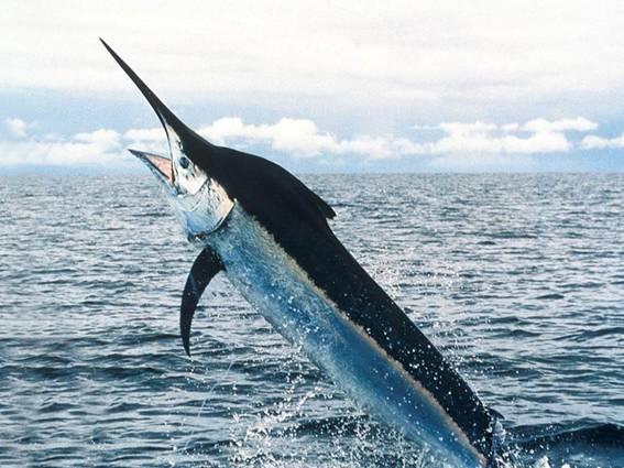 рыба мечь в Израиле Даг херев - Swordfish